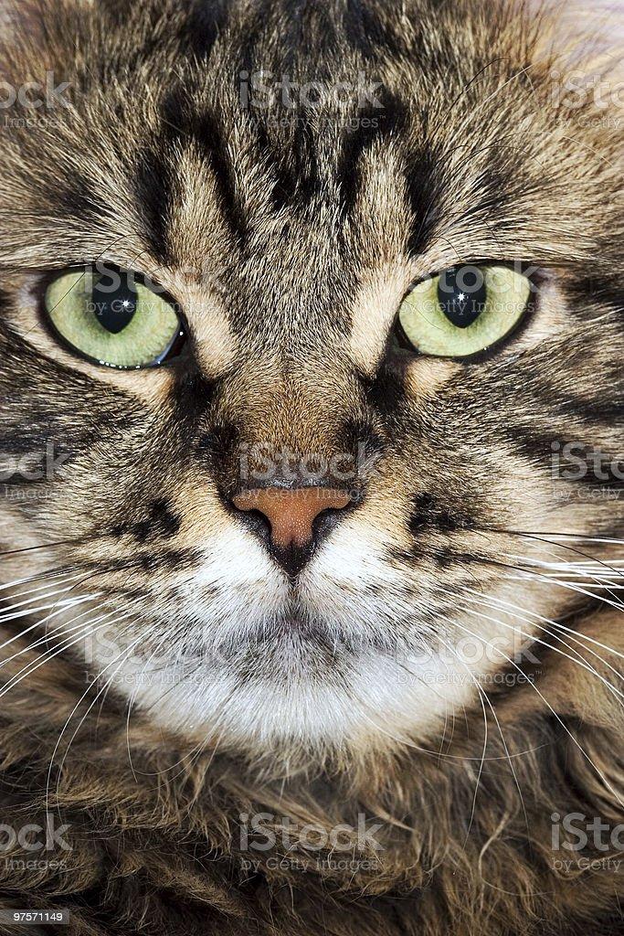 Museau d'un chat photo libre de droits