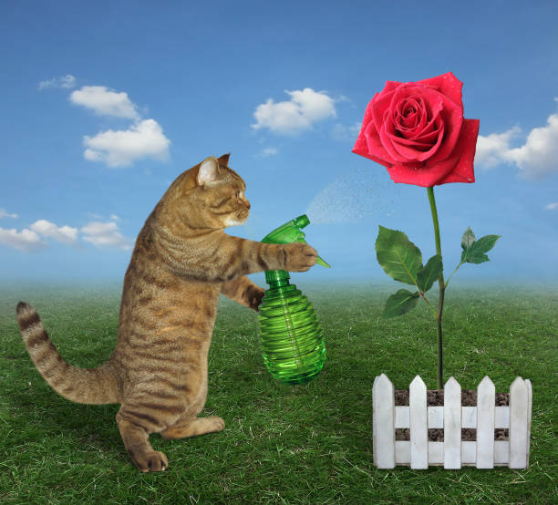 Cat spraying water on a red rose stock photo