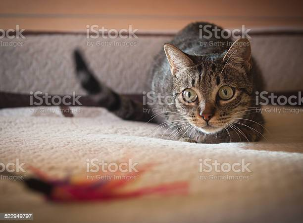 Cat stalking his feather toy picture id522949797?b=1&k=6&m=522949797&s=612x612&h=tvh48plhq7z4olr0ea eugj6x tv1bh26knffqyoca8=