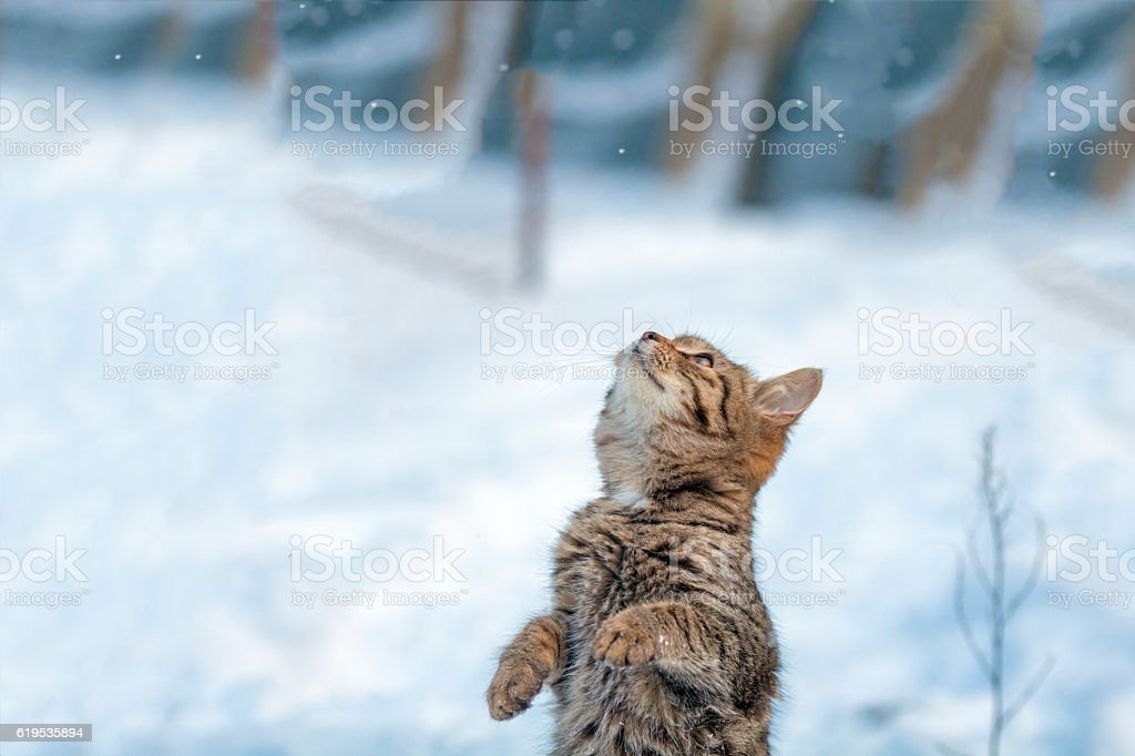 Cat standing on hind legs in the snow – Foto