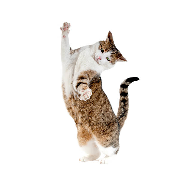 Cat standing on hind legs isolated picture id490749856?b=1&k=6&m=490749856&s=612x612&w=0&h=s6waluvbqmk22qhvlha620p1jpvtg7xp041nl4an4hg=