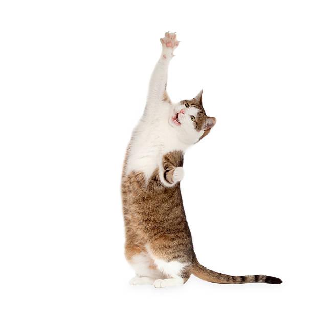 Cat standing on hind legs picture id545811154?b=1&k=6&m=545811154&s=612x612&w=0&h=mh1kswllbji7fhh4mjnyirj wpdda9epdbc0 xhzvm8=