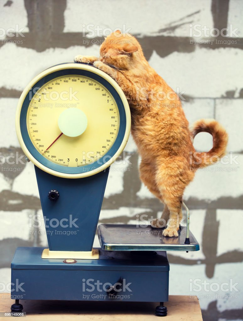 Cat standing on the scales. Cat Weigh control. Healthy body weight stock photo