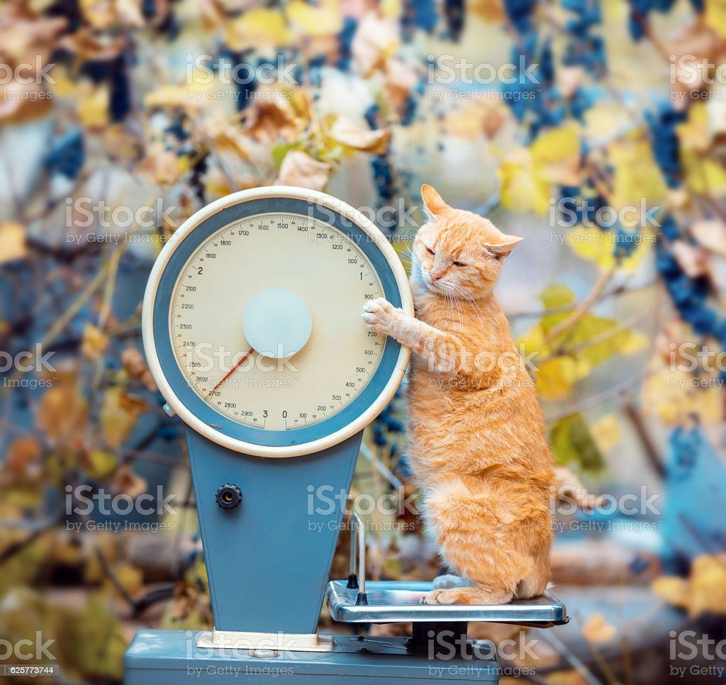 Cat standing on the scales in the garden stock photo