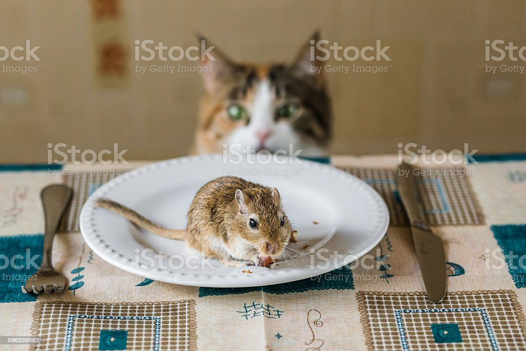 Cat stares at little gerbil mouse on the table. Concept royalty-free stock photo