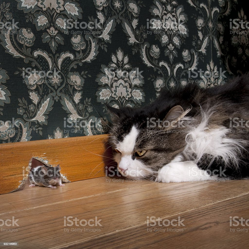 Cat staring at a mouse coming out of her hole stock photo
