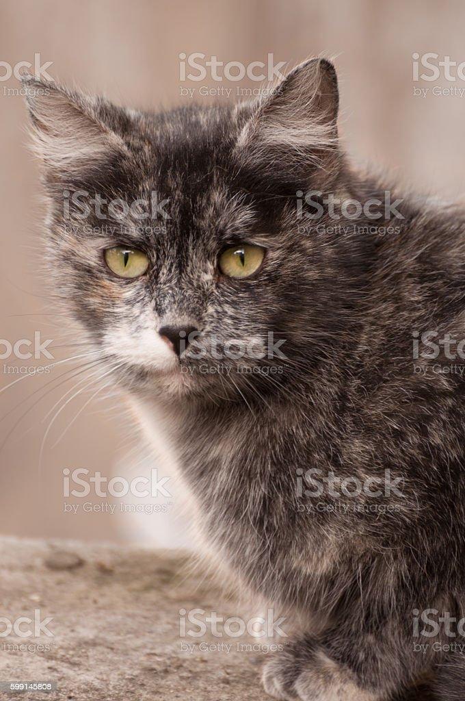cat staring at the camera royalty-free stock photo