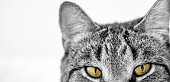 Cat staring at viewer, close up and isolated on white background for copy