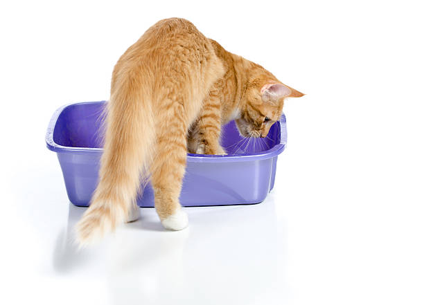 Cat Stepping Into Litter Box stock photo