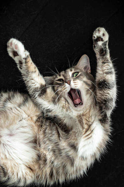 Cat stretched its paws up opened its mouth and shouted as if above picture id1135250241?b=1&k=6&m=1135250241&s=612x612&w=0&h=5xwzidtiigs9zsan hke  jmqkda 6tqlq67cngzscm=