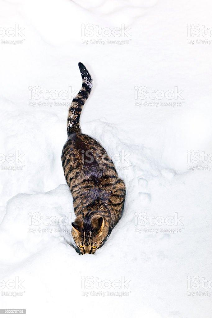 cat strolling through  deep snow in winter stock photo