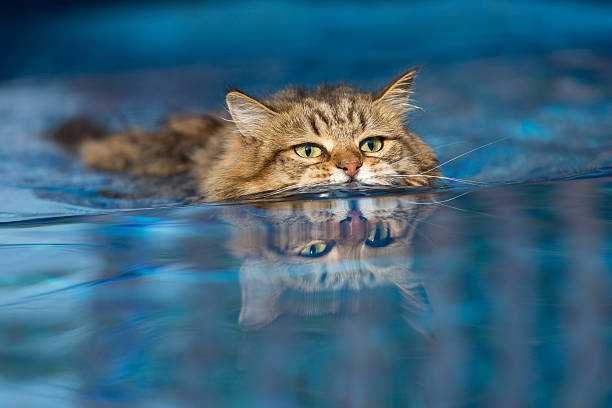 Cat swimming in the Pool stock photo