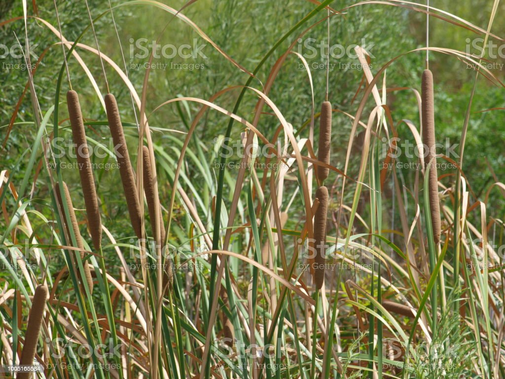 Cat Tail Crop Nearing Harvest Time stock photo