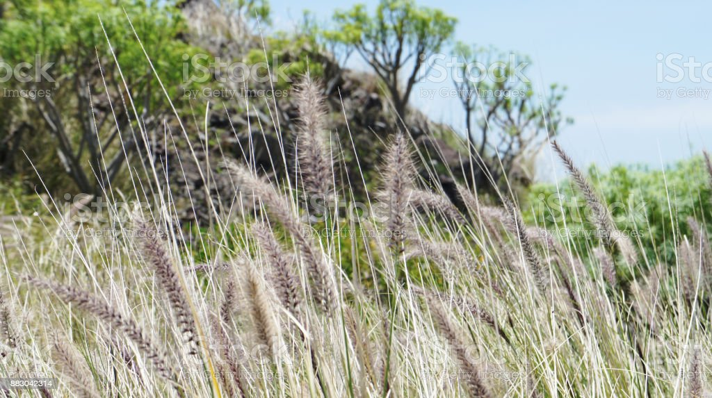 Cat tail grass of Masca stock photo