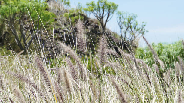 Cat tail grass of Masca