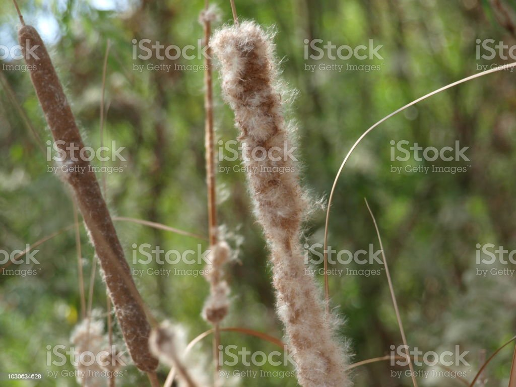 Cat Tail Plant Harvest In Dallas Area Is Prime Material stock photo