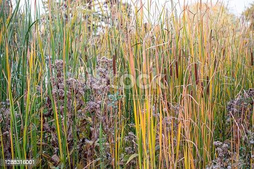 An abundance of cat tail plants are around this marshy pond in Winnipeg Manitoba Canada