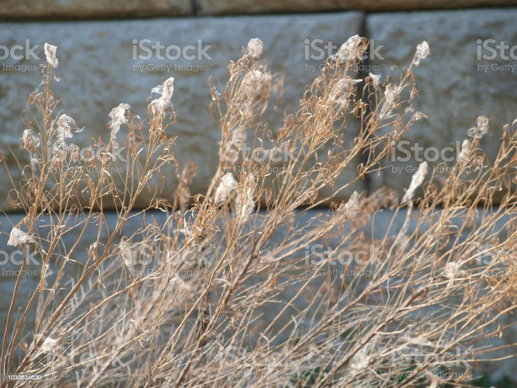 Cat Tail Seed Pods Release Early This Year stock photo