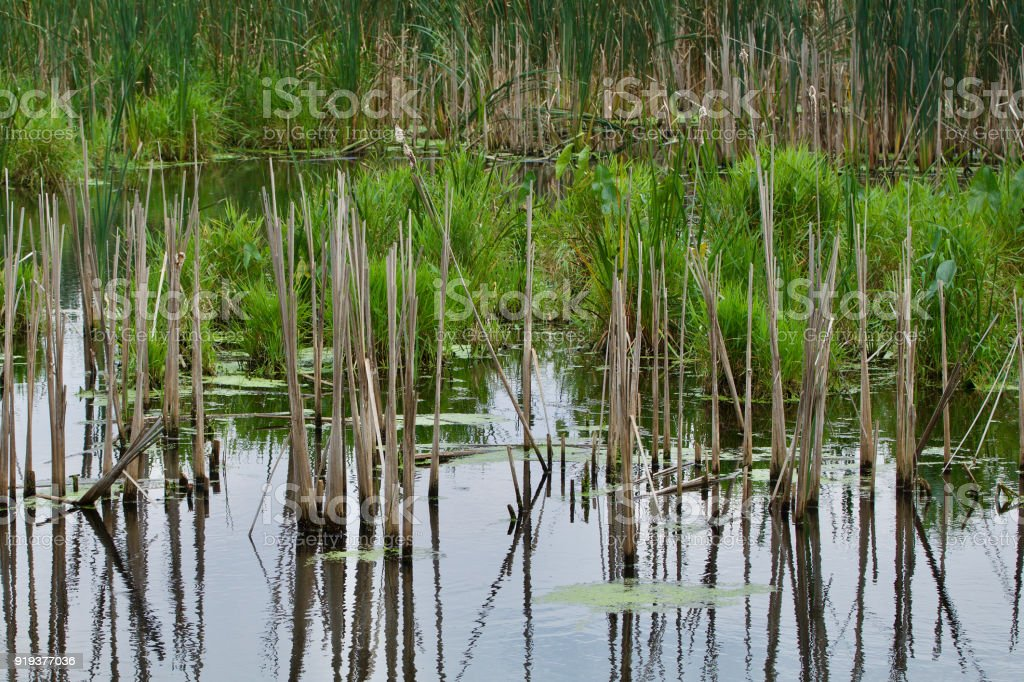 Cat tails in the water stock photo