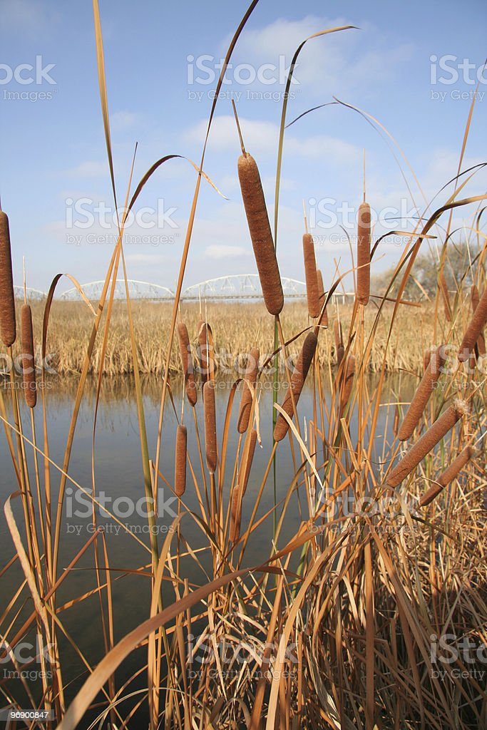 Cat Tails Vertical royalty-free stock photo