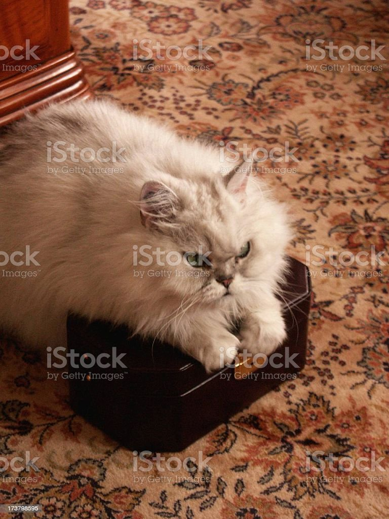 cat: that box is mine royalty-free stock photo