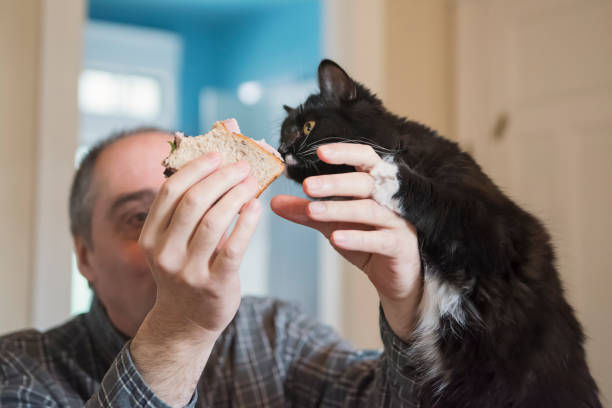 Cat trying to steal a bite of sandwich in man's hand. stock photo
