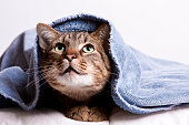 A tabby cat peeks out from under a blue towel.