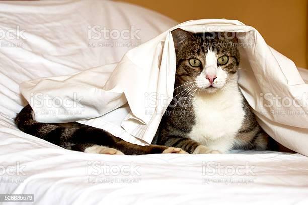 Cat under white sheet picture id528635579?b=1&k=6&m=528635579&s=612x612&h=anqkz4fjs7d3y2fkczhsf0eaglx5fectorqjeclh6jq=