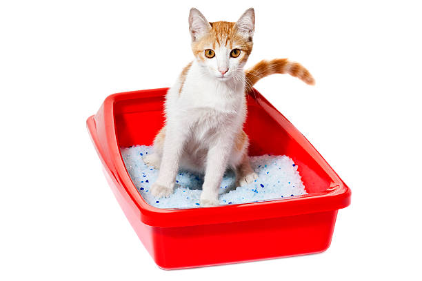 Cat using the litter box picture id471332365?b=1&k=6&m=471332365&s=612x612&w=0&h=65yprdlhzu6zx6 hjbzzf62 0j wzxervhlffmh3tfk=