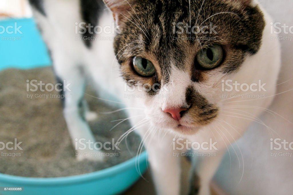 Gato usando o banheiro, gato na caixa de areia, para defecar ou urinar, cagando no banheiro areia limpa. Limpeza de caixa de areia do gato. Um gato olhando para seu próprio cocô na caixa de areia azul. Areia para gatos. Gato em casa. foto royalty-free