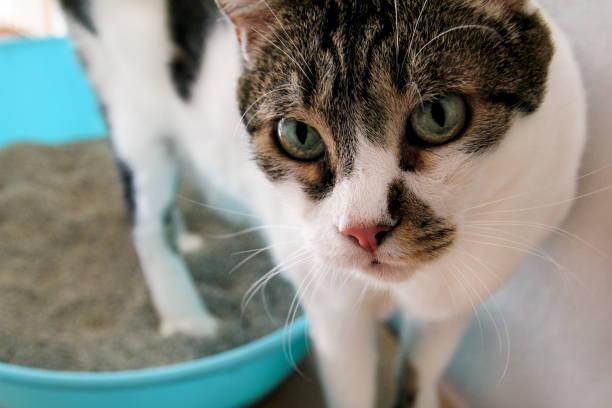 Gato usando o banheiro, gato na caixa de areia, para defecar ou urinar, cagando no banheiro areia limpa. Limpeza de caixa de areia do gato. Um gato olhando para seu próprio cocô na caixa de areia azul. Areia para gatos. Gato em casa. - foto de acervo