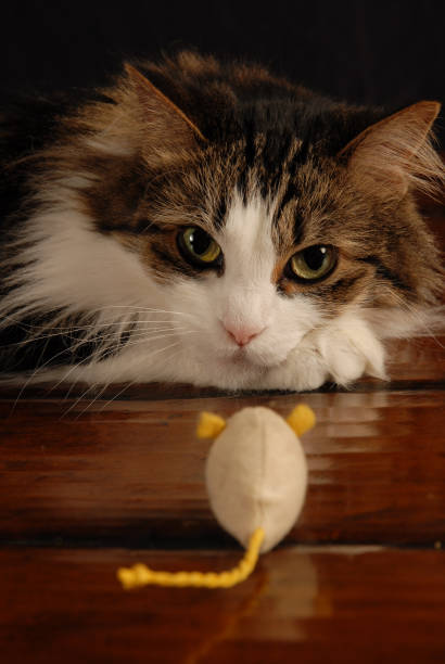 Cat vs mouse stare off picture id822707732?b=1&k=6&m=822707732&s=612x612&w=0&h=k3rudivqavpq7 fno3gtwsm 6gjjlzxquslvayi1uju=
