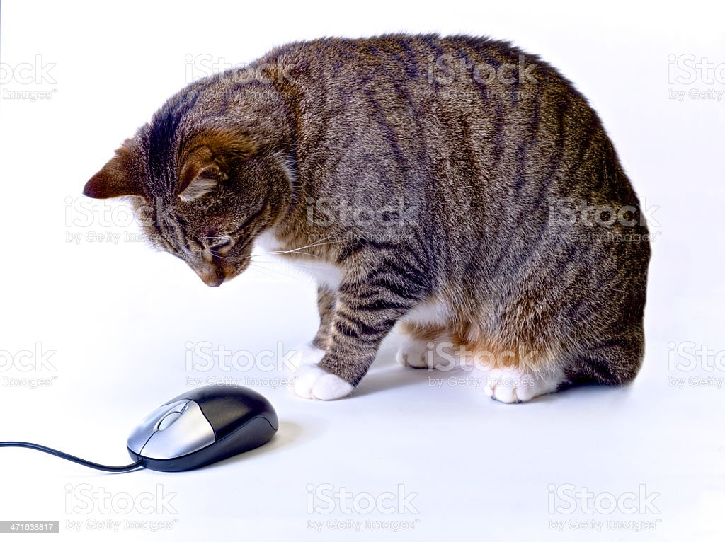 cat wainting for computer mouse to move stock photo