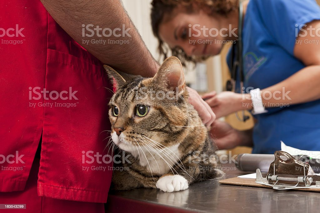Cat Waits as Veterinarian Completes Procedure in Animal Hospital stock photo