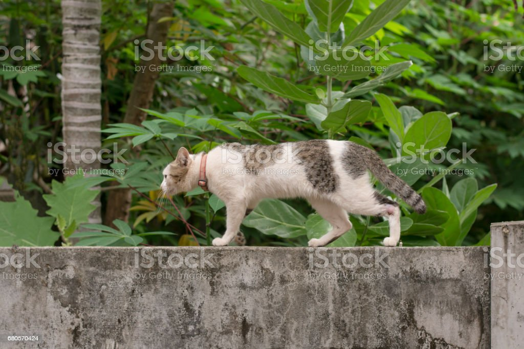 Cat walking crouching on a concrete wall stock photo