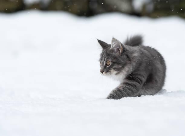 katze im tiefschnee - grau getigerte katzen stock-fotos und bilder