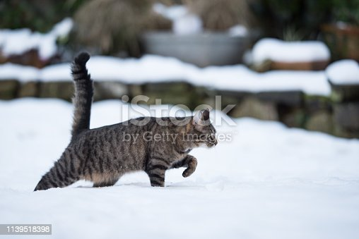 side view of a tabby domestic shorthair cat walking in deep snow in the garden
