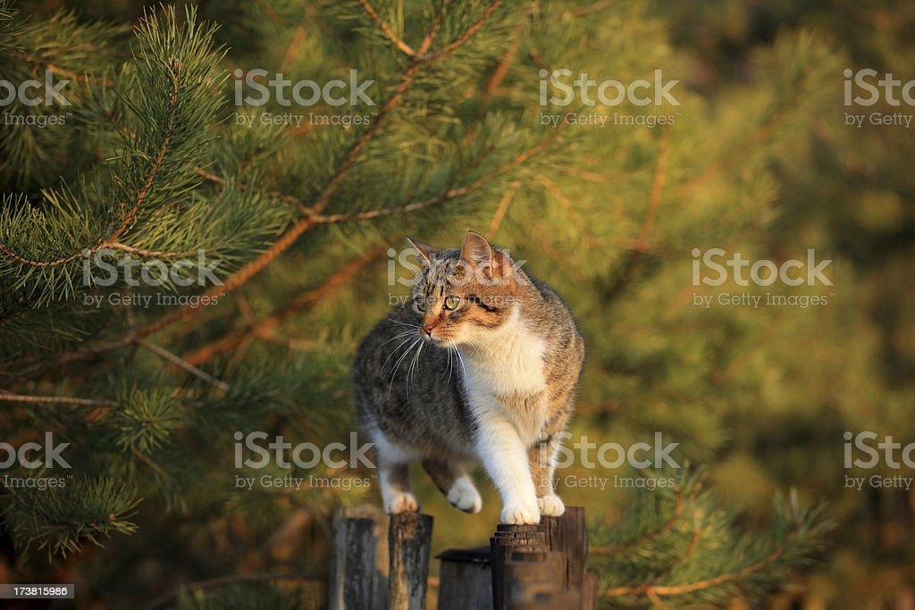 Cat walking on fence - Royalty-free Animal Stock Photo