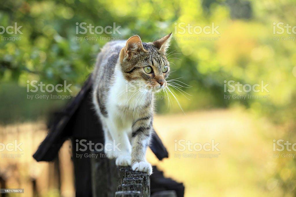 Cat walking on fence  Animal Stock Photo
