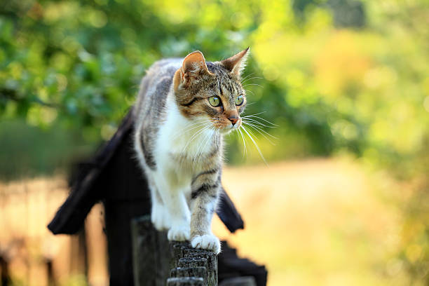 Cat walking on fence picture id182175970?b=1&k=6&m=182175970&s=612x612&w=0&h=gmotontjhiwgyaew8aizuei3ualmfzem3zsd7udrw54=