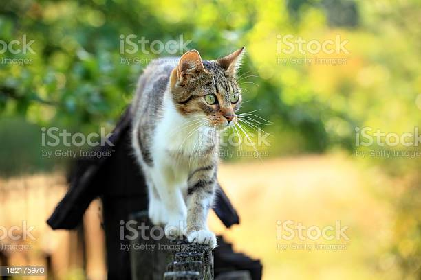 Cat Walking On Fence Stock Photo - Download Image Now