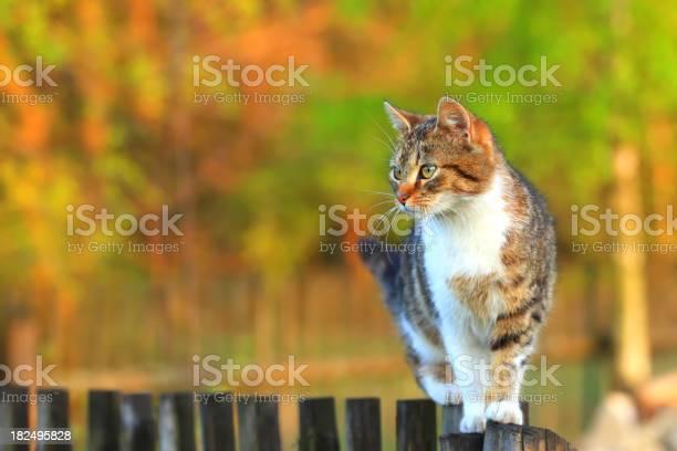 Katze Auf Zaun Stockfoto und mehr Bilder von Farbsättigung