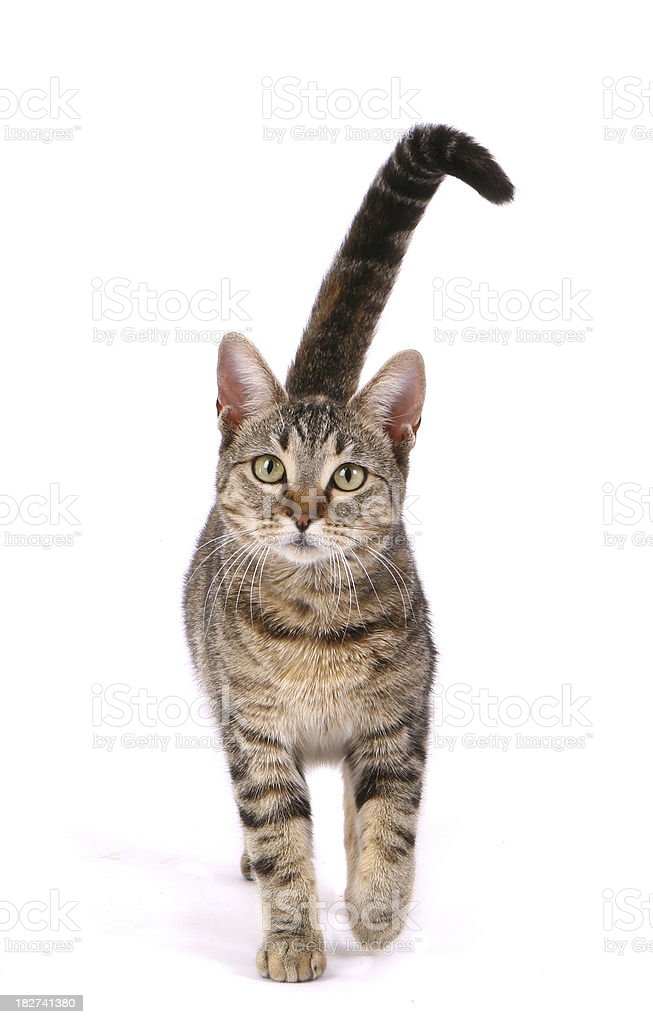 Cat Walking royalty-free stock photo