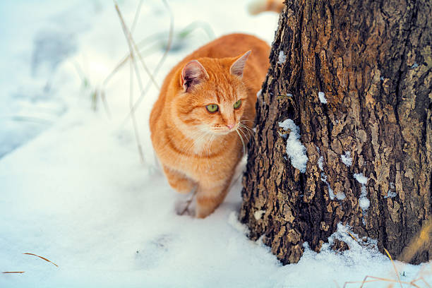 Cat walks outdoor in the winter picture id529977983?b=1&k=6&m=529977983&s=612x612&w=0&h=ekcc07l k6jwv72zrt6ajhqbjb799qdlgefsxcq55ku=