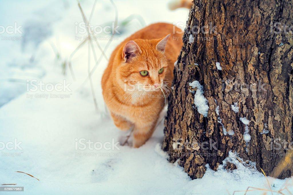 Cat walks outdoor in the winter stock photo