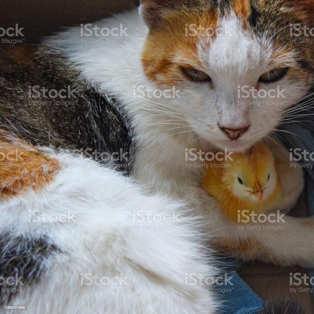 Katze wärmt Huhn - Lizenzfrei Adoption eines Haustiers Stock-Foto