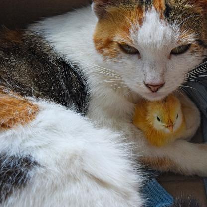 Katze Wärmt Huhn Stockfoto und mehr Bilder von Adoption eines Haustiers