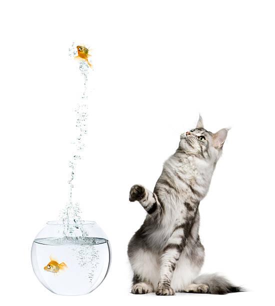 Cat watching goldfish leaping out of fish tank picture id104652880?b=1&k=6&m=104652880&s=612x612&w=0&h=nnvwmlmyaufzg72amnh 119e 4poycrjhwrc3vlsxwa=