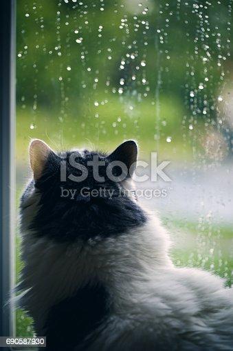 A beautiful white long hair cat watching the reain come down outside.