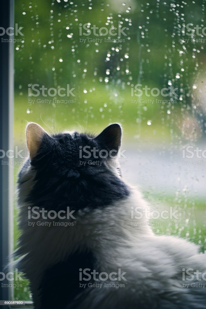 Cat Watching The Rain stock photo